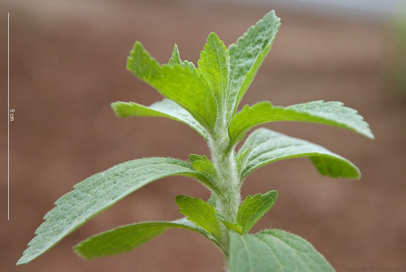 stevia. photo by Rik Schuiling
