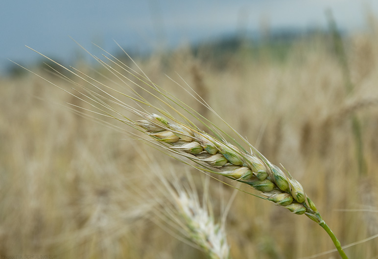 wheat. photo by Rik Schuiling